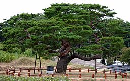 A pine tree in South Korea--Picasa Web Album