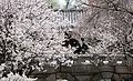 Korea Palace Spring Flowers 02.jpg