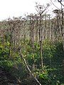Korina 2011-09-22 Heracleum mantegazzianum 2.jpg