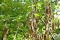 Korina 2013-05-06 Laburnum anagyroides 6.jpg