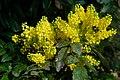 Korina 2017-04-09 Mahonia aquifolium.jpg