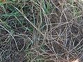 Kweek rizomen Elytrigia repens.jpg