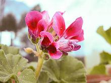 Kwiat pelargonii-a.jpg