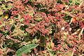 La Palma - Barlovento - Carretera del Faro - Mesembryanthemum crystallinum 02 ies.jpg