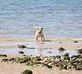 Labrador dog.jpg
