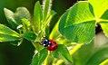 Ladybug (34707922885).jpg