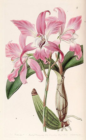 Laelia autumnalis - Edwards vol 25 (NS 2) pl 27 (1839).jpg