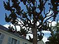 Lagerstroemia indica - Arboretum Angers.jpg