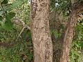 Lagerstroemia parvifolia 04.JPG