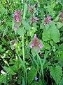 Lamium purpureum2.jpg