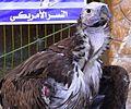 Lappet-faced vulture 00 (2).JPG
