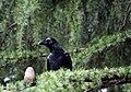 Large-billed Crow in Yoyogi Koen, Tokyo.jpg