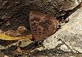 Large Oakblue Arhopala amantes by Dr. Raju Kasambe DSCN3031 (1).jpg