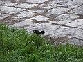 Largo di Torre Argentina cats 3.jpg