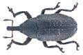 Larinus planus (Fabricius, 1792) (10903211613).png