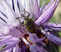 Larinus species. - Flickr - gailhampshire.jpg