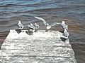 Larus atricilla (4003118116).jpg
