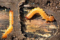 Larva of a beetle of the family of Fire-Coloured Beetle Pyrochroidae Lamiot 03.JPG