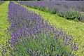 Lavandula angustifolia (3).jpg