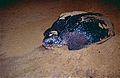 Leatherback Sea Turtle (Dermochelys coriacea) (10629234684).jpg