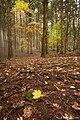Leaves (52646582).jpeg