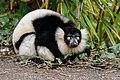 Lemur (25990530047).jpg