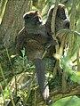 Lemures juntos.JPG
