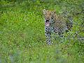 Leopard (Panthera pardus) yawning (12906755343).jpg