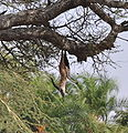 Leopard kill hanging from tree.jpg
