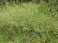 Lepidium graminifolium 2005.08.11 16.41.17.jpg