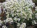 Lepidium papilliferum plant 2.jpg