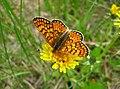 Lepidoptera 01.jpg
