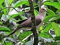 Leptotila verreauxi Tórtola colipinta White-tipped Dove (6495887435).jpg