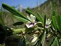 Lespedeza juncea flower5 (11139825345).jpg