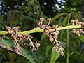 Leucothoe fontanesiana 2017-06-25 3028.jpg