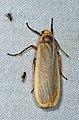 Lichen Moth - Brunia vicaria, Gorongosa National Park, Mozambique (29356907898).jpg