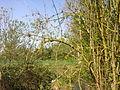 Lichen sur des branches à Grez-Doiceau 001.jpg