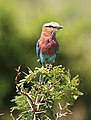 Lilac-breasted Roller, Coracias caudatusat Pilanesberg National Park, Northwest Province, South Africa (17295493848).jpg
