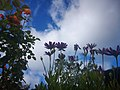Lilac flowers and blue sky. IMG 20200913 113243.jpg