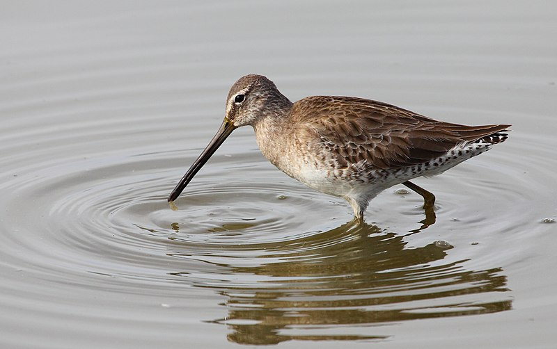 File limnodromus wikimedia commons for Oiseau a long bec