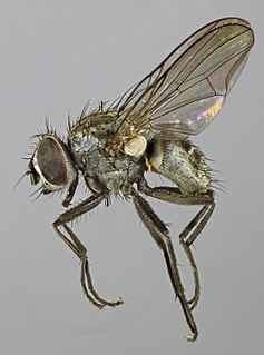 <i>Limnophora triangula</i> species of insect