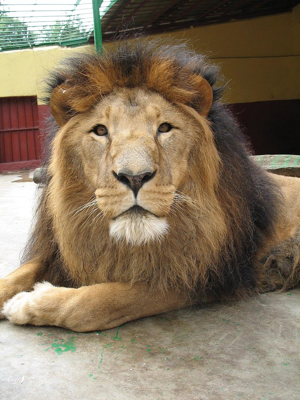 Lion zoo Addis Ababa