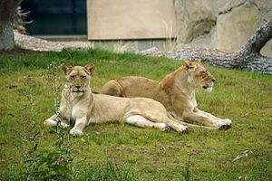 Fresno Chaffee Zoo - Image: Lions Fresno Zoo
