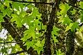 Liquidambar styraciflua in Eastwoodhill Arboretum (11).jpg