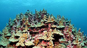 Lisianski Island - The coral at Neva Shoals