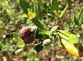 Lithomyrtus obtusa fruit Kewarra 4649.jpg