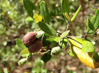 <i>Lithomyrtus</i>
