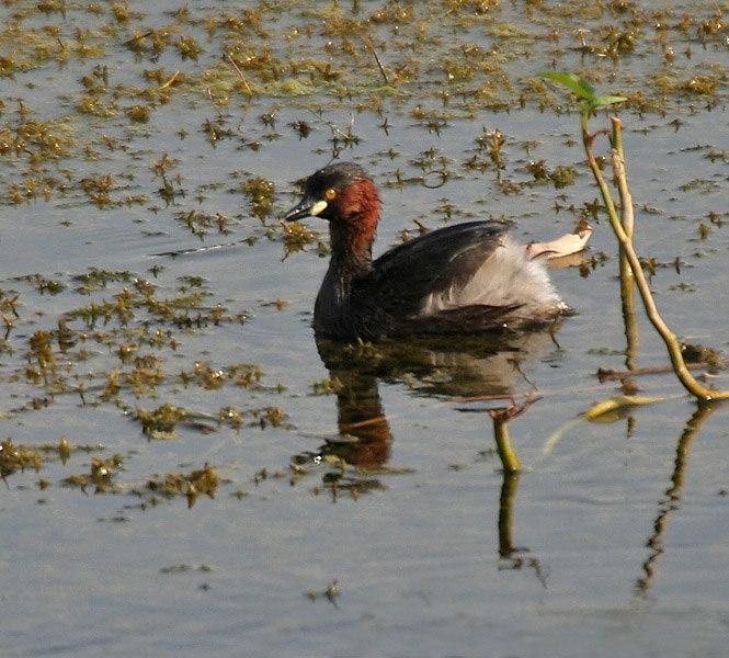 Little Grebe (Tachybaptus ruficollis)- breeding plumage- in Hyderabad, AP W IMG 7648