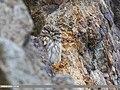 Little Owl (Athene noctua) (42057974580).jpg