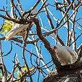 Little corella at Boulia Wildlife Haven Herbert St Boulia Queensland P1030427.jpg